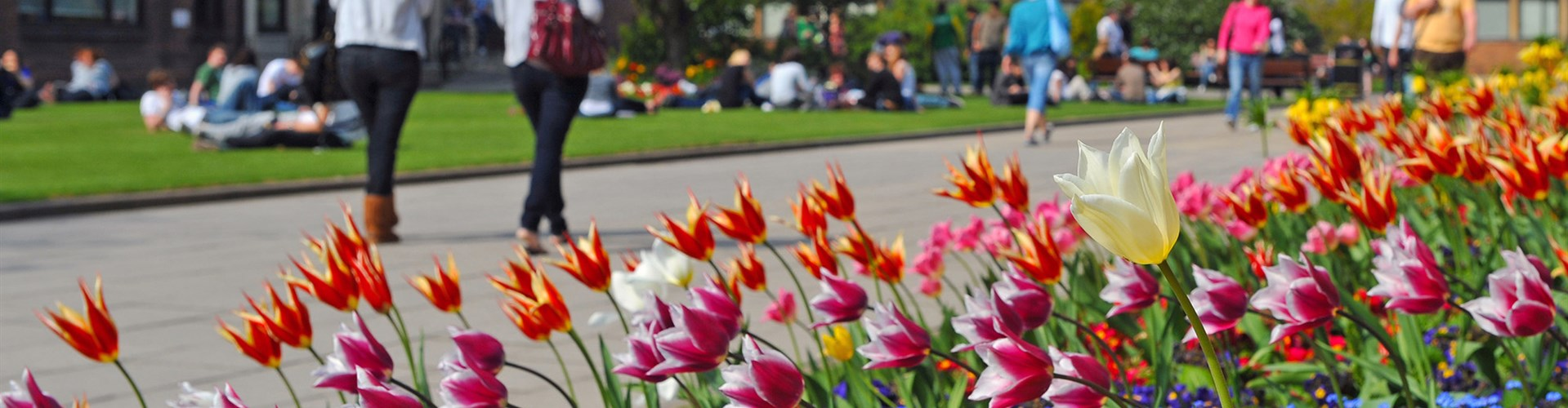 Tulips at the University of Hull