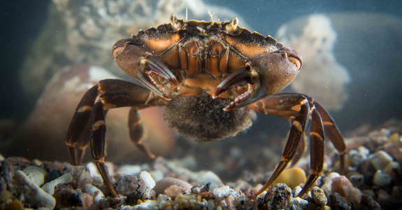 Shore Crab with eggs and larvae